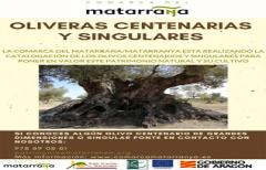 Avanza el proyecto de catalogación de las oliveras centenarias y singulares en el Matarraña
