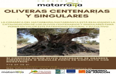 Se busca voluntarios para encontrar oliveras centenarias del Matarraña